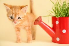 Funny kitten with plant in watering can on color background stock photo