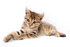Funny Kitten playing Stock Photography