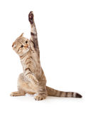 Funny kitten pointing up by one paw isolated Royalty Free Stock Photography