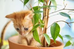Funny kitten in pot with houseplant indoors stock photo