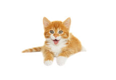 Funny kitten showing tongue Stock Image