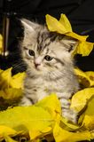 Funny kitten. Sitting in a pile of yellow foliage Royalty Free Stock Photography