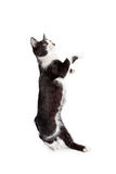 Funny Kitten Standing Up Dancing Royalty Free Stock Photos