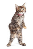 Funny kitten standing up walking Royalty Free Stock Photos