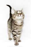 Funny Kitten striped looking up,  Stock Images
