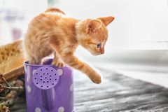 Funny kitten in watering can indoors royalty free stock image