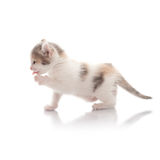 Funny Kitten Royalty Free Stock Photo