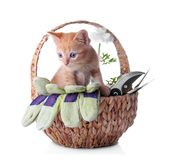 Funny kitten in wicker basket with garden tools on white background royalty free stock images