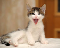 Funny kitten yawns Royalty Free Stock Photography