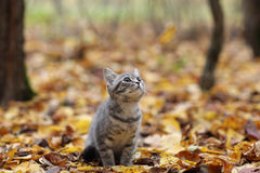 Funny kitten in yellow leaves Stock Image