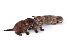 Funny kittens Royalty Free Stock Image