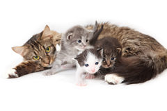 Funny kittens. Mama-cat with three kittens Stock Photos