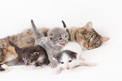 Funny kittens. Mama-cat with three kittens Royalty Free Stock Photos
