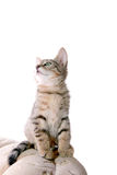 Funny kitty. Photo of young grey cat focused of something Royalty Free Stock Image