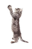 Funny Kitty Standing With Paws Up. Side view of cute kitten standing up on hind legs stretching paws up in prayer position Royalty Free Stock Photography