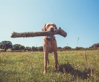 Funny Labrador dog carrying a big stick royalty free stock photography