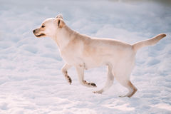 Funny labrador dog playing outside, running on snow, winter seas. Young funny labrador dog playing outside, fast running on snow, winter season. Sunny day Stock Images