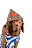 Funny labrador wearing winter outfit Royalty Free Stock Photos
