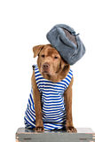 Funny labrador wearing winter outfit Stock Photos