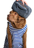 Funny labrador wearing winter outfit Stock Images