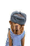 Funny labrador wearing winter outfit Stock Image