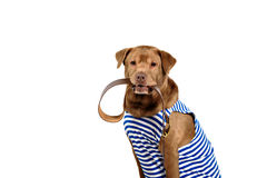 Funny labrador wearing winter outfit Stock Photo