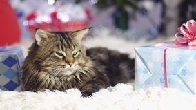 Funny laizy Maine Coon cat as Santa Claus lies by beautiful new year decorated fir-tree. slow motion. 3840x2160 stock footage