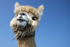 Funny lama. Portrait of a lama with blue sky Stock Images
