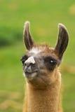 Funny lama. Portrait of long-eared funny lama Stock Photography