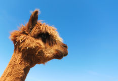Funny lama alpaca portrait. Brown lama on blue sky background with a fly on his nose Stock Image