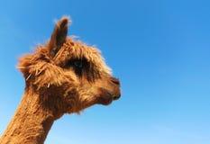 Funny lama alpaca portrait Stock Image