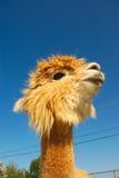 Funny lama alpaca portrait. Proud alpaca lama on blue sky with nice haircut Stock Photos