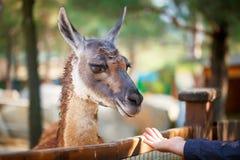 Funny lama close up. National park, Selective focus Royalty Free Stock Image