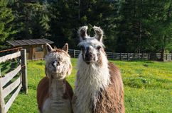 Funny lama couple in the dolomites royalty free stock photo
