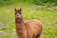 Funny lama in a courtyard of a small farm, Meiringen, Switzerland Royalty Free Stock Photo