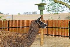 Funny Lama royalty free stock photos