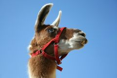 Funny Lama. Portrait On Blue Background Royalty Free Stock Image