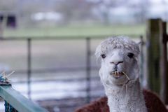 Funny lama Royalty Free Stock Photography