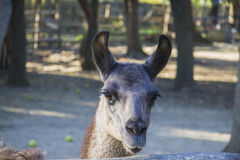 Funny lama Royalty Free Stock Photos