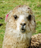 Funny lama portrait. Funny lama standing on grass. The llama, Lama glama domesticated South American camelid animals on the green meadow in the Andes mountains Stock Image