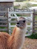 Funny Lama. Lama zoo funny nature Royalty Free Stock Photos