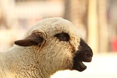 Funny lamb Stock Images