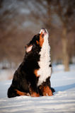 Funny large dog howling and barking Royalty Free Stock Images
