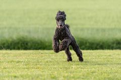 Funny large poodle on am meadow stock image