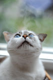 Funny large portrait of a white cute fluffy blue-eyed cat. Window in the background. Funny large portrait of white cute fluffy blue-eyed cat. Window in the Stock Images
