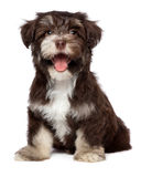 Funny laughing chocholate havanese puppy dog. Funny laughing chocolate colored havanese puppy dog is sitting, isolated on white background Royalty Free Stock Photography