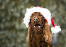 Funny laughing Christmas dog. Laughing Christmas dog with Santa Claus hat Royalty Free Stock Images