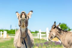 Funny laughing donkey. Portrait of cute livestock animal showing teeth in smile. Couple of grey donkeys on pasture at farm. Humor royalty free stock images
