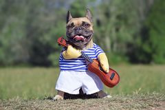 Funny laughing French Bulldog dog dressed up as musician wearing a costume with striped shirt and fake arms holding guitar