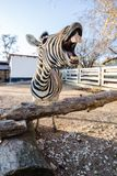 Funny laughing zebra stock photo